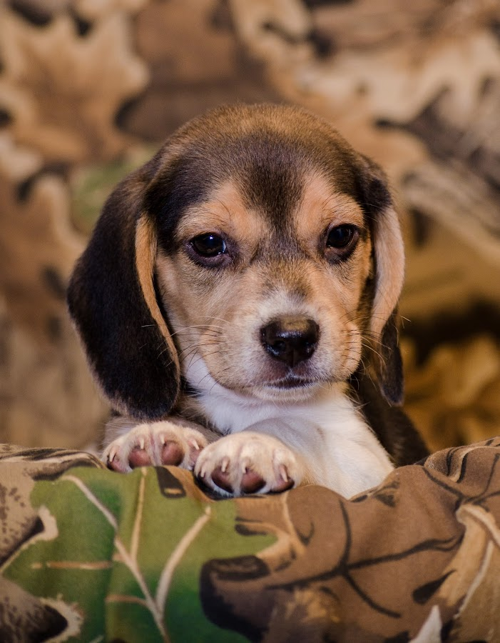 by Teena Emerson - Animals - Dogs Puppies