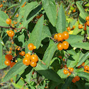 Tartarian honeysuckle