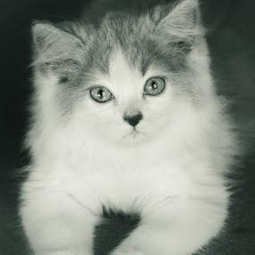 GAze by Aditya Nugraha - Animals - Cats Portraits ( cat )