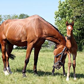 ergela galop by Angler Goran - Animals Horses ( horses, ergela, galop )