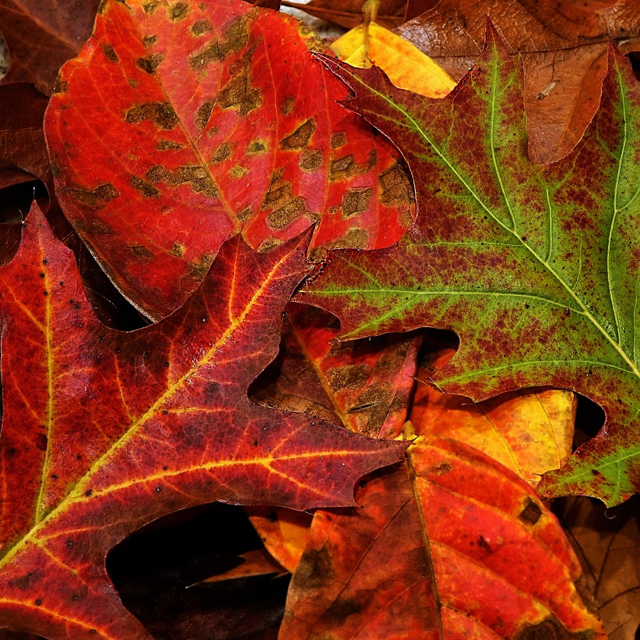 Autumn Leaf Patterns and Colors by Dee Haun - Nature Up Close Leaves & Grasses ( greens, patterns, reds, 171109x1002rce2, autumn, fall, multicolor, nature up close, oranges, autumn colors, leaves, shapes,  )