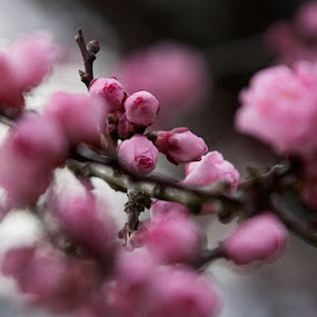 Pink. by Tyhe Reading - Nature Up Close Flowers - 2011-2013 ( tree, focus, pink, flowers, aperture, close )