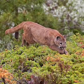 Mountain Lion by Jack Nevitt - Animals Lions, Tigers & Big Cats ( lion, mountain, cougar, jumping, panther )
