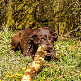 Labrador Cross and Stick  by Vicki Roebuck - Animals - Dogs Playing ( stick, grass, labrador cross, chewing )