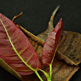 Young Veins by Prasanta Das - Nature Up Close Leaves & Grasses ( red, dry leaves, leaves, young )