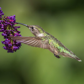 Stretch by Roy Walter - Animals Birds ( animals, hummingbird, wildlife, garden, birds )