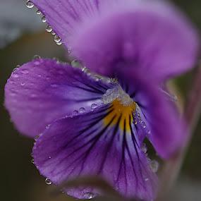 by Cheryl Hudnall Kincaid - Flowers Single Flower