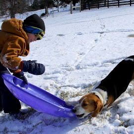 Give me that sled! by Carlene Pulley - Animals - Dogs Playing