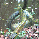 Giant Bird Snake, Yellow-bellied Puffing Snake