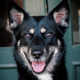 Mala by Myra Brizendine Wilson - Animals - Dogs Portraits ( canine, mala, dogs, dog )