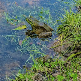 He Didn't Catch Anything Either! by Larry Bodinson - Animals Amphibians ( nature, frog in stream, bullfrog, frog, amphibian,  )