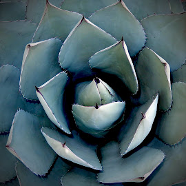 Agave by Dawn Hoehn Hagler - Nature Up Close Other plants ( plant, agave, green, arizona, tucson, nursery, bach's cactus nursery )