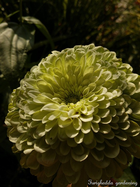 zinnia green double