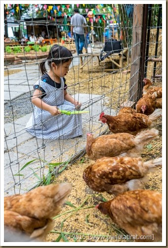 Not the chickens again-04845