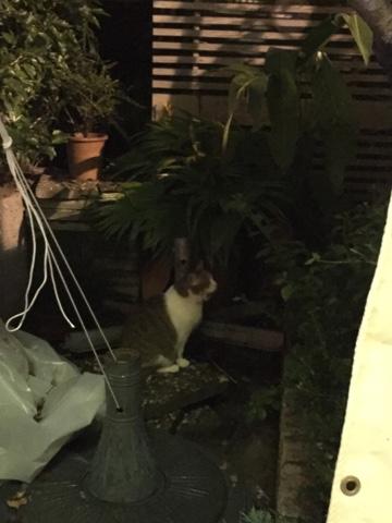 天母 Wendelsの猫