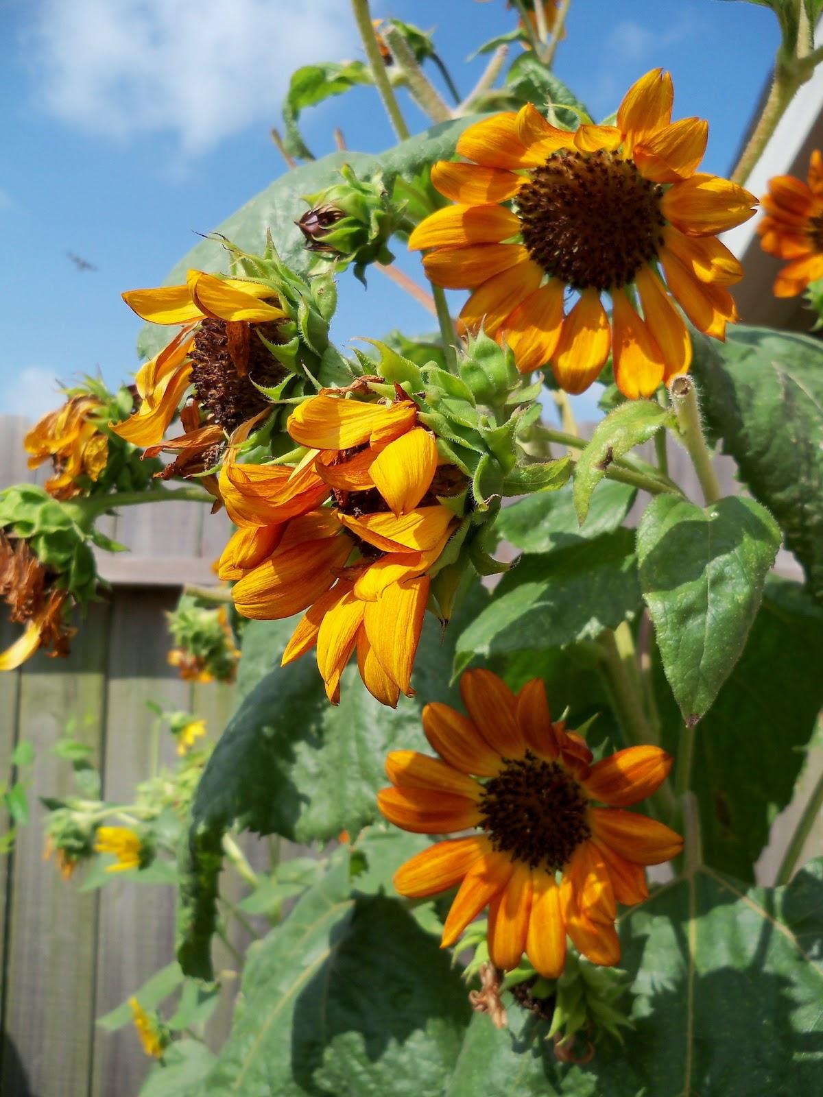 Gardening 2011 - 100_0148.JPG