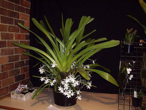 Растения из Тюмени. Краткий обзор - Страница 4 Jumellea%252520garcillipes