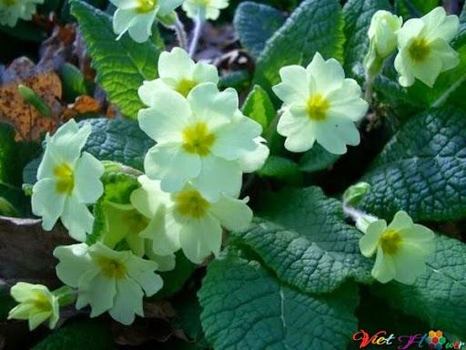 hoa anh thảo giúp chống oxy hóa và da phục hồi nhanh hơn