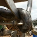 Photos/ Video: Huge 33-ft anaconda discovered by construction workers in Brazil