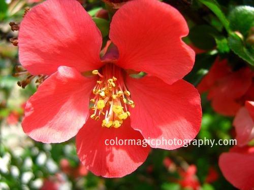 Japanese quince-Chaenomeles Japonica-macro photo