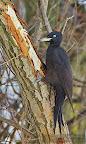 Black Woodpecker (Driocopus martius) on a tree in the Danube Delta