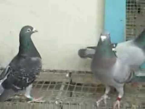 burung merpati merupakan jenis burung yang bisa di umbar atau di bisa