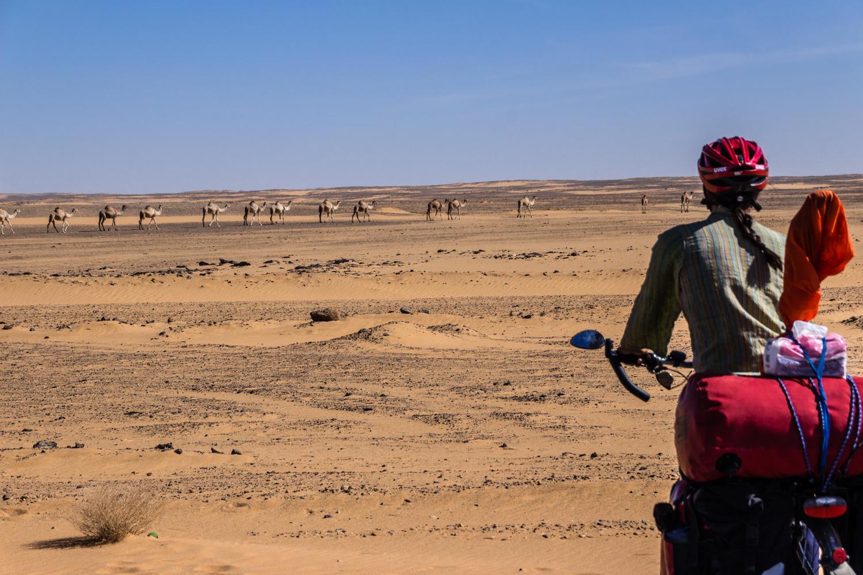 wild camels cycling sahara desert sudan