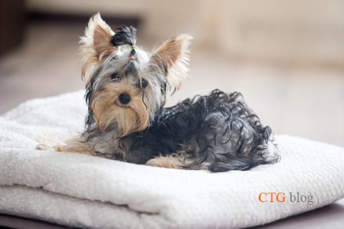 Chăm sóc chó trước và sau khi phẫu thuật