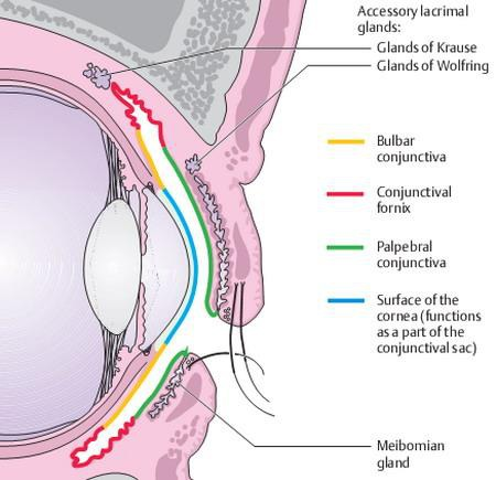 Anatomy of conjunctiva and parts of conjunctiva