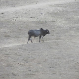 Bull, Mahansar, Shekhawati