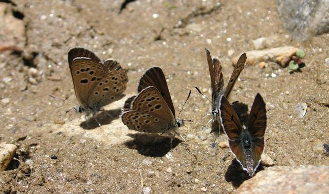 Groupe de Farsia iris chernjaki CHURKIN & ZHDANKO, 2001. Vallon de Sangou-Dara, 3250 m, N 37° 29.112' ; E 71° 39.353', à l'Est de Khorog, Pamir, Tadjikistan, 31 juillet 2007. Photo : F. Michel