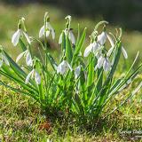 Подснежник белоснежный (Galanthus nivalis)