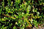 Bog cranberry (Vaccinium oxycoccus).