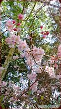 草坪頭玉山觀光茶園-櫻花與原始林