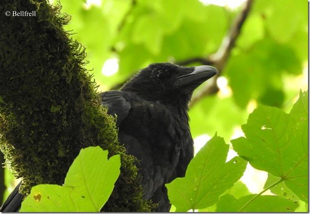 Krähe im Baum 1