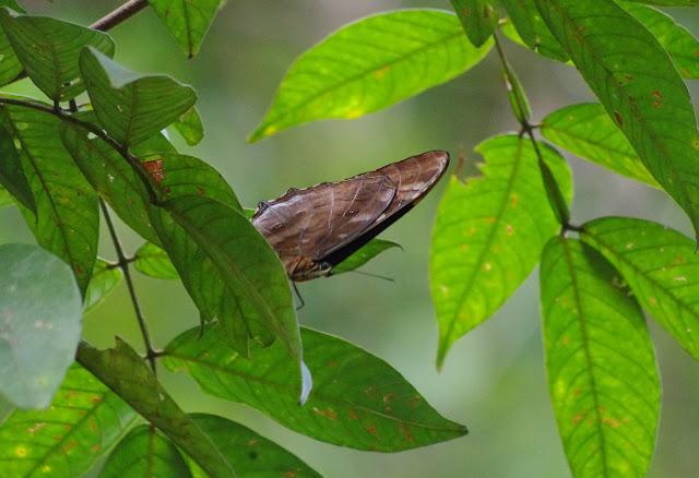 Morpho (Iphimedeia) telemachus telemachus (L., 1758). Piste de Coralie, 30 octobre 2012. Photo : J.-M. Gayman