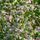 Гречиха (Fagopyrum sp.)