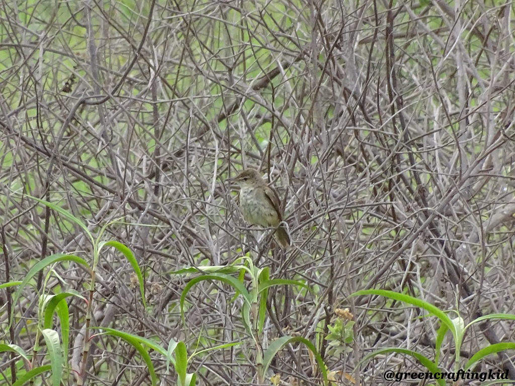 [Booted+Warbler%5B2%5D]