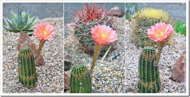 160530_echinopsis_flower_008