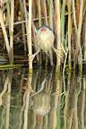 LE NAIN DE LA ROSELIÈRE  Le blongios nain est le plus petit héron d'Europe : 135g tout mouillé !