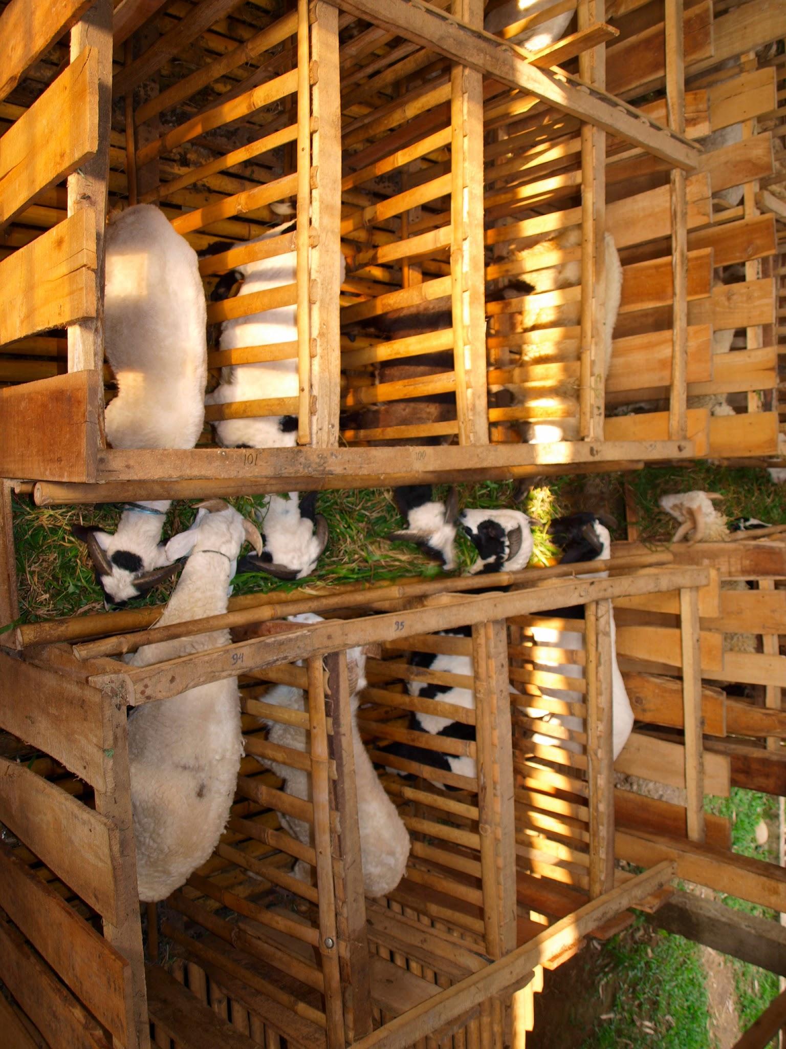 Kandang Kambing Gibas Yang Baik - Tentang Kolam Kandang Ternak