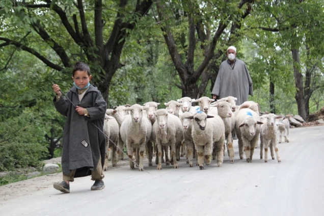 Shepherd wearing face mask and his grandchildren walking along with their flock of sheep towrds grazing field