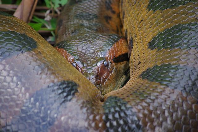 Anaconda (Eunectes murinus L., 1758). Saut Athanase, 7 novembre 2012. Photo : J.-M. Gayman