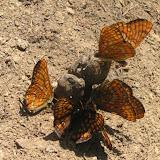 Euphydryas intermedia MÉNÉTRIÉS, 1859, mâles. Tigrovoy, 25 juin 2011. Photo : J. Michel