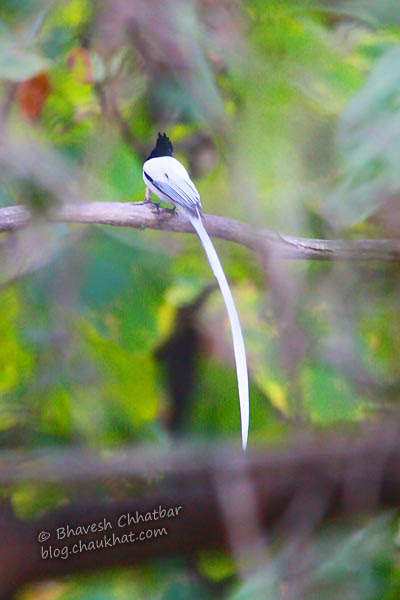Asian Paradise Flycatcher [Adult Male] in foliage