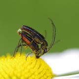 Couple de Lepturinae : Stenurella nigra (L., 1758) (?). Les Hautes-Lisières (Rouvres, 28), 15 juin 2012. Photo : J.-M. Gayman