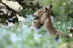 LUTTE ROMAINE   pour apprendre à chasser !