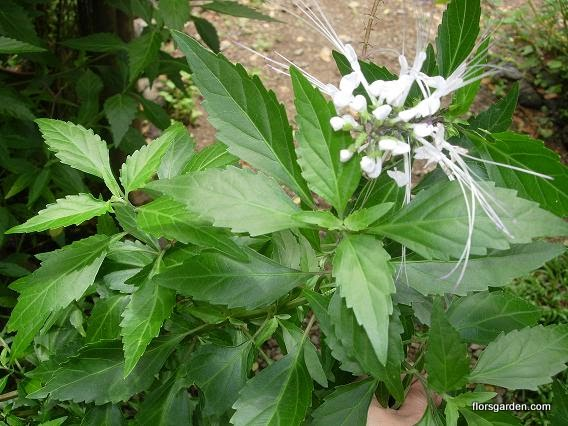 Balbas Pusa (Cat's Whiskers)