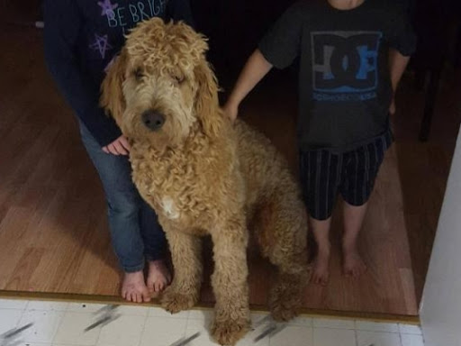 Abel Doodle's and Poodle's - Dog Breeder in Bezanson