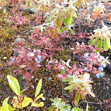 Typical groundcover in area burned in 2005 -Blueberries and Sheep Laurel (downward pointing leaves).
